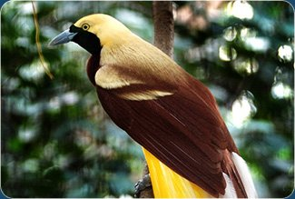 site_cenderawasih_oiseau